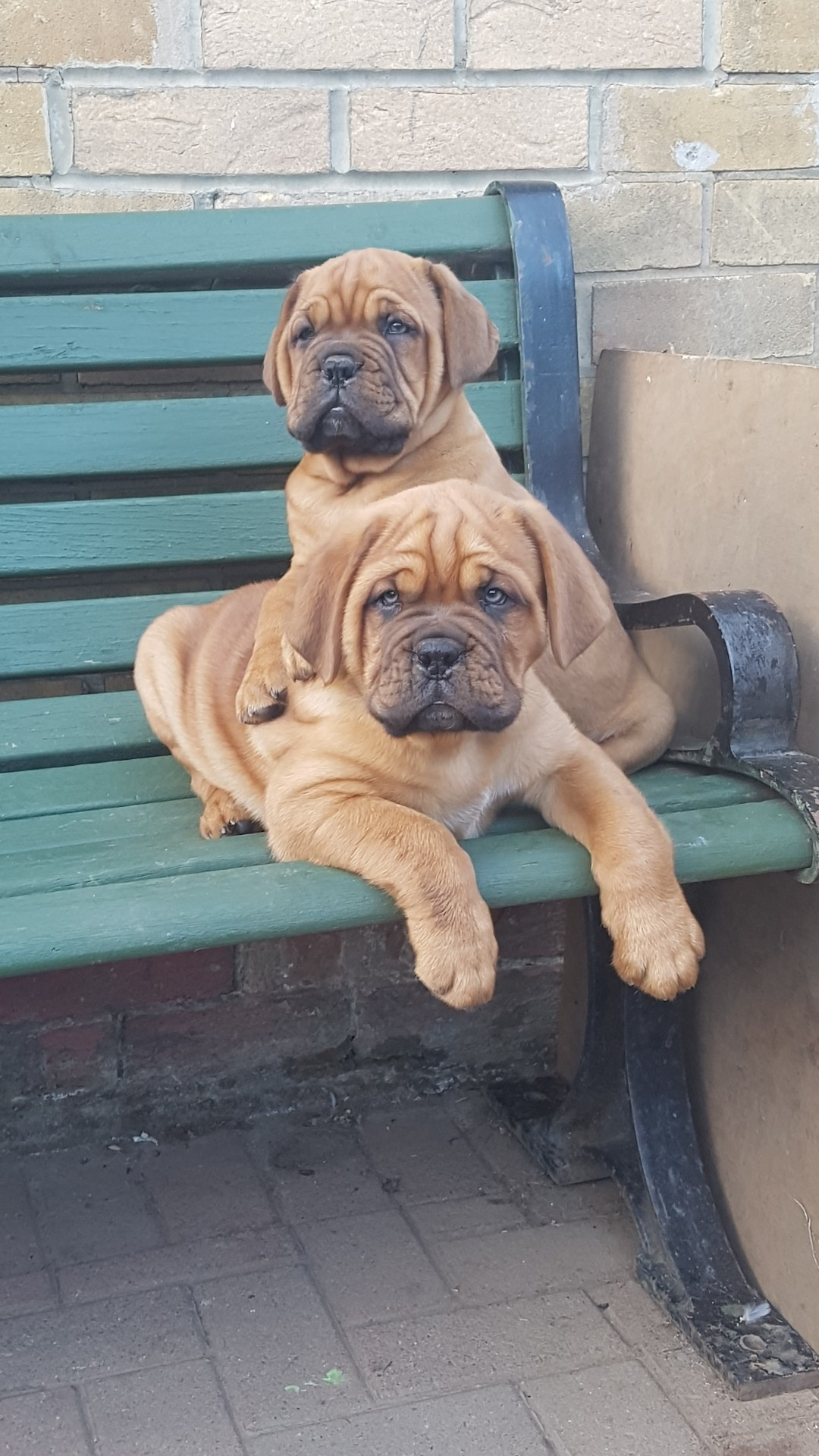 stunning dogue de bordeaux pups lovely big healthy pups 2 boys and 4 girls available mam is our family pet and dad is rocco cairnshaw good craic both