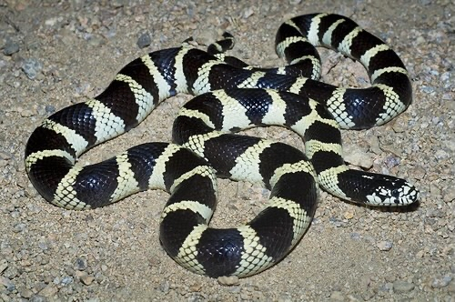 Preview of the first image of WANTED! Kingsnakes and Milksnakes.