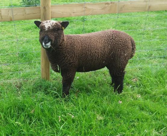 Image 3 of Malt Kiln Coloured Ryeland Flock 2021 lambs