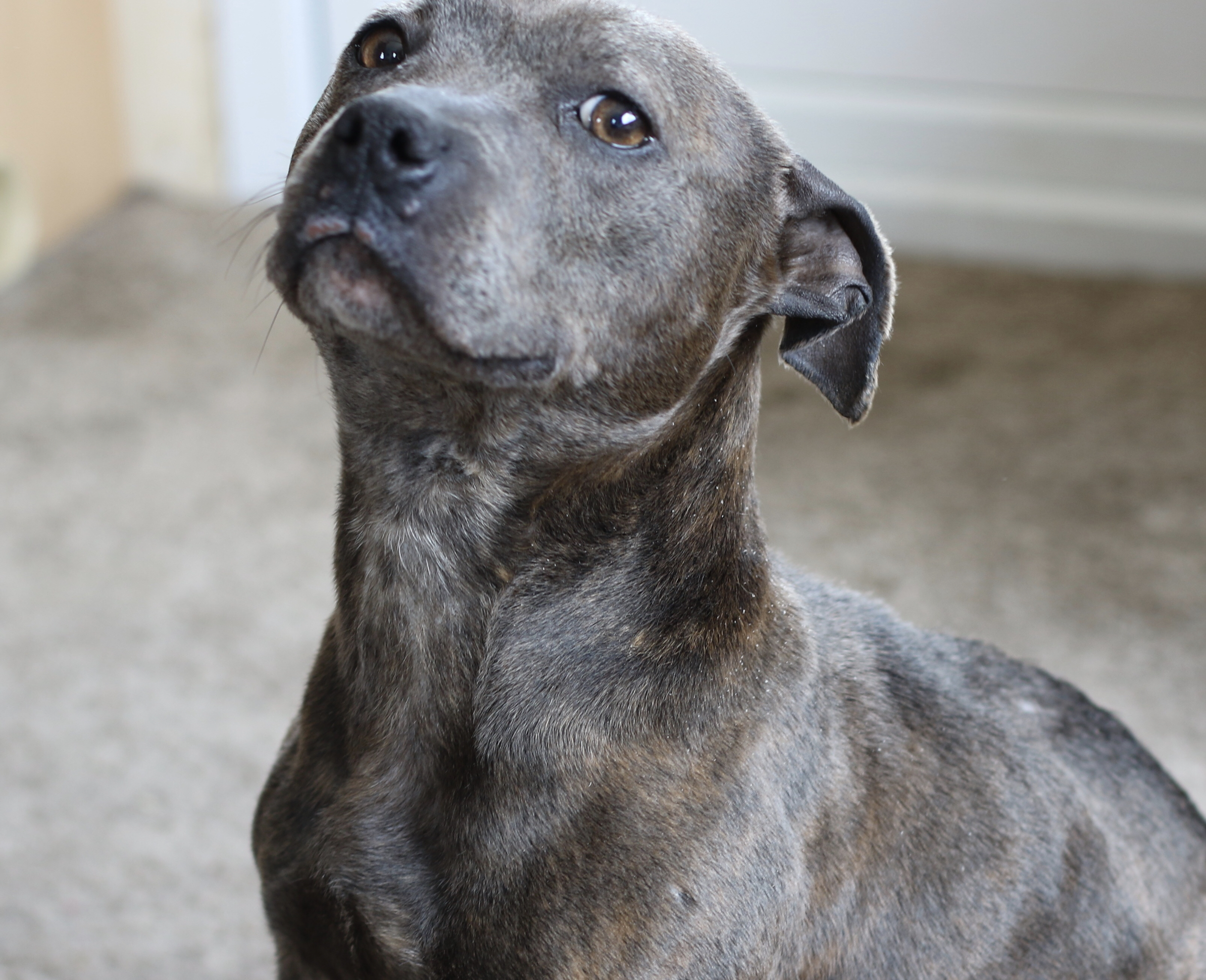 Blue Staffy For Sale : Blue staffy puppy pets for sale in london preloved