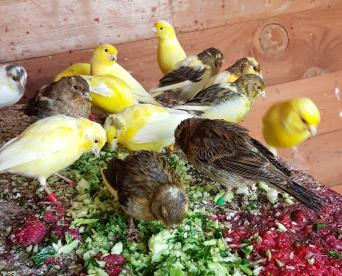 canaries - Birds, For Sale in Worcestershire | Preloved