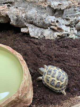 Image 7 of CB20 Horsefield Tortoises