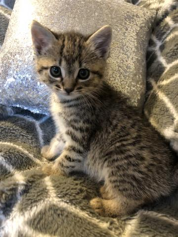 Preview of the first image of Beautiful tabby kitten for sale.