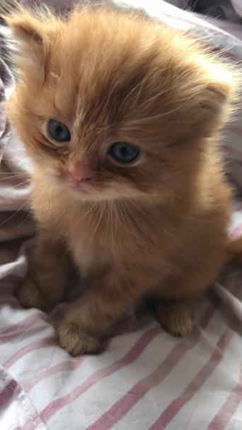 persian kittens - Cats & Kittens, Rehome Buy and Sell in Milton