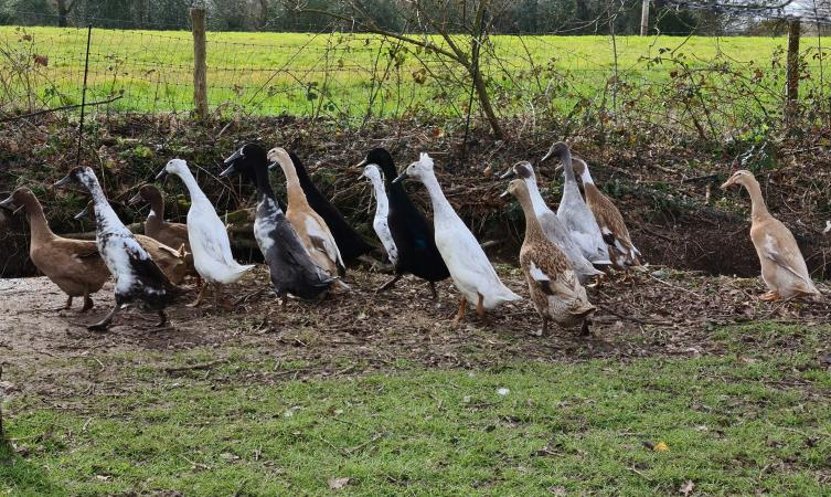 Image 1 of 6 Indian Runner Duck Hatching Eggs