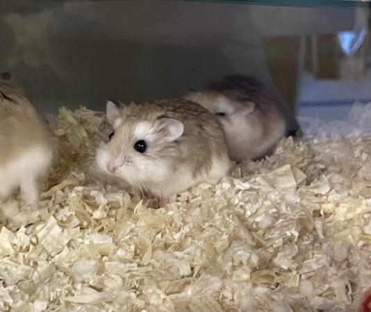 Image 2 of Baby roborovski hamsters