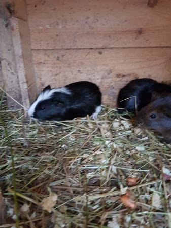 Image 4 of Guinea pigs £25 each