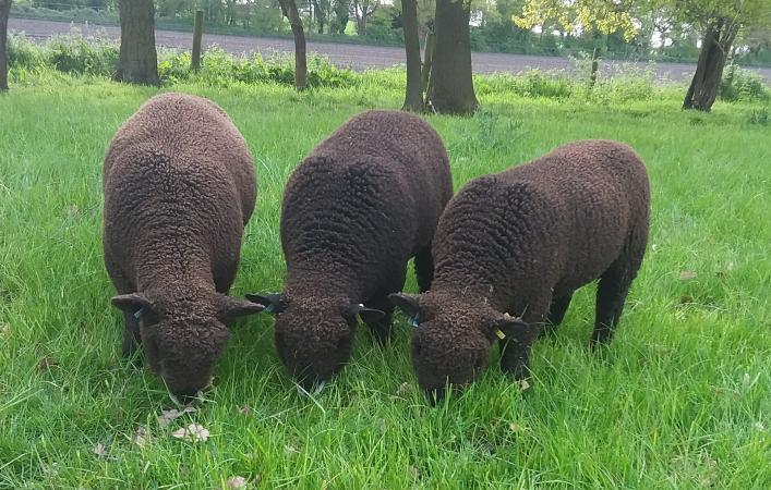 Image 7 of Malt Kiln Coloured Ryeland Flock 2021 lambs