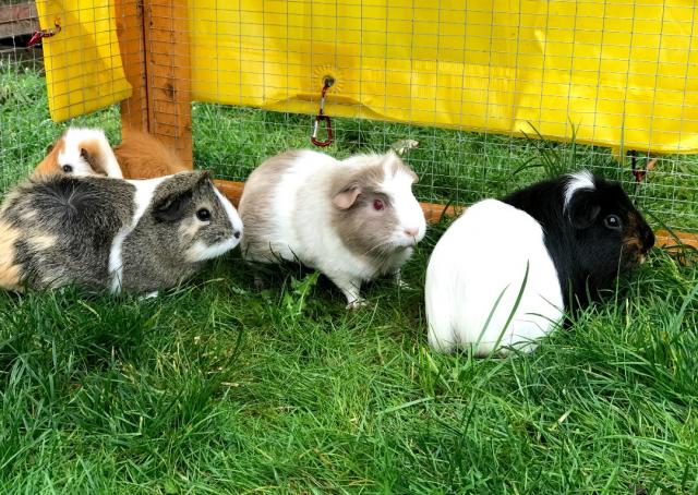 Preview of the first image of The Potato Patch Guinea Pig Sanctuary - Doncaster.
