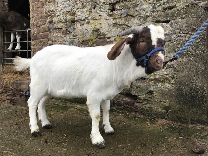 Boer Billy Goat For Sale In Hereford Herefordshire Preloved