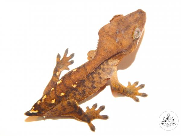 Image 4 of Unsexed orange tricoloured crested gecko