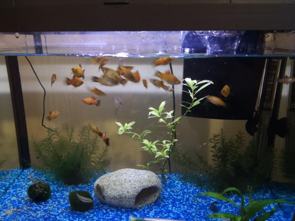 Image 3 of Tropical Platy Males and Females