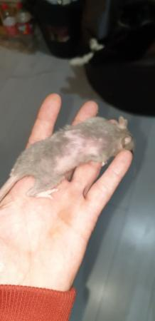 Image 12 of Tame Young/baby rats for sale (guaranteed tame)