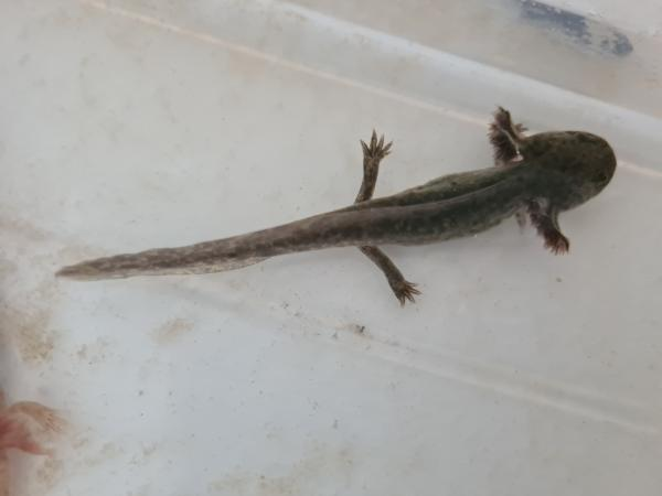 Image 2 of axolotls 3 copper 1 wilds left