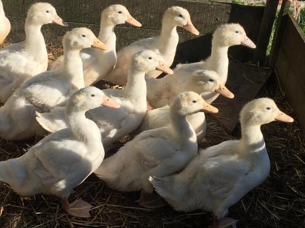 Image 2 of Peking Ducks for sale