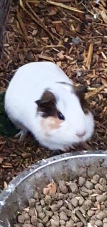Image 4 of male guinea pigs