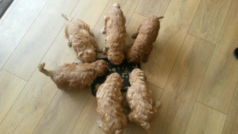 Image 10 of Experienced Apricot Miniature Poodle 4 Stud PRA CLEAR
