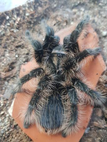 tarantula - Exotic Pets, Rehome Buy and Sell in London | Preloved