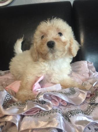 bichon frise cross poodle Puppies ready now
