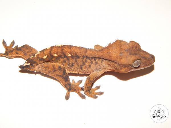 Image 3 of Unsexed orange tricoloured crested gecko