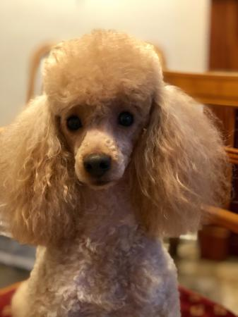 Image 2 of Kc, Registered pra clear deep Apricot toy poodle for stud