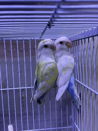 Image 3 of Love birds for sale