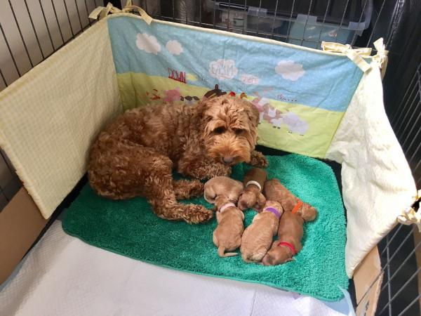 Image 11 of Experienced Apricot Miniature Poodle 4 Stud PRA CLEAR
