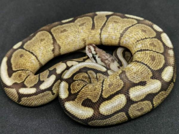 Image 1 of GHI Vanilla spider 2019 male Ball python