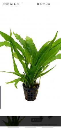 Image 1 of Java Fern. Live Aquarium Plants