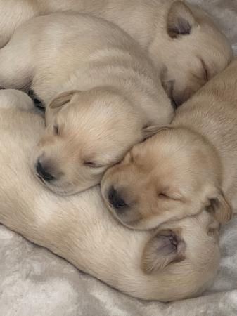 Image 2 of Labrador retriever puppies for sale one boy 3 girls left