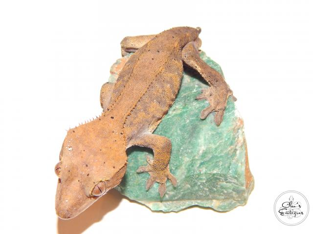 Preview of the first image of Male Dalmatian Crested Gecko.