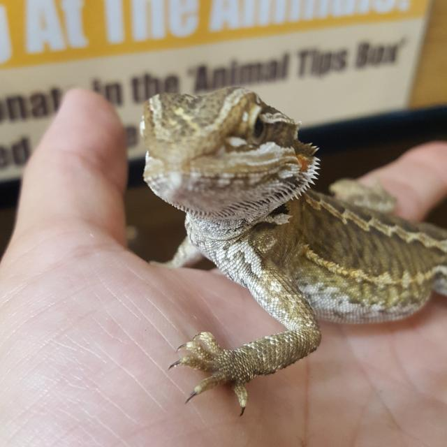 Preview of the first image of Baby Bearded Dragons Available.