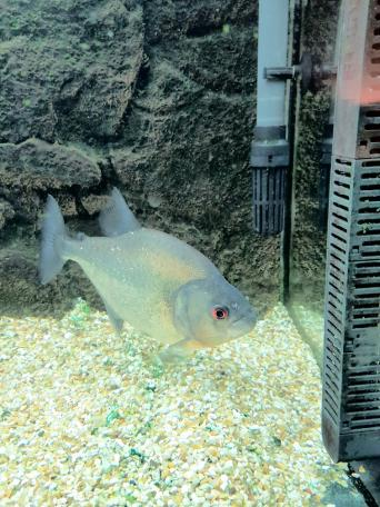 piranha - Fish & Fish Tanks, Rehome Buy and Sell | Preloved