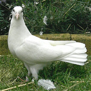 fantail doves - Birds, Rehome Buy and Sell   Preloved
