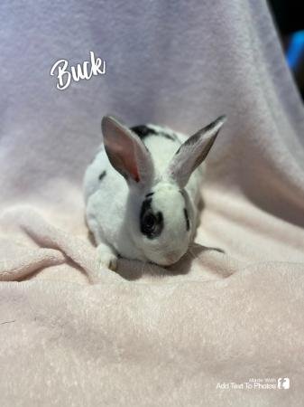 Image 1 of Baby bunnies