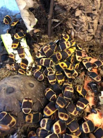 Image 2 of Sun beetles