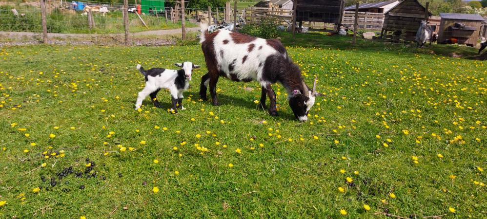 Image 2 of Pygmy Goat Nannie with kid