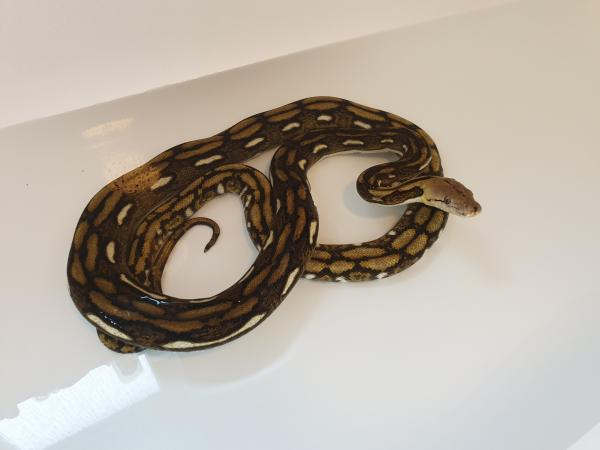Image 1 of tiger retic for sale £120 ono