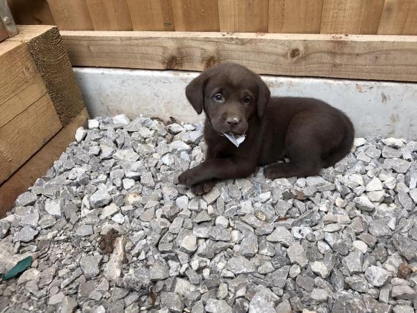 Image 3 of Pure chocolate Labrador puppies