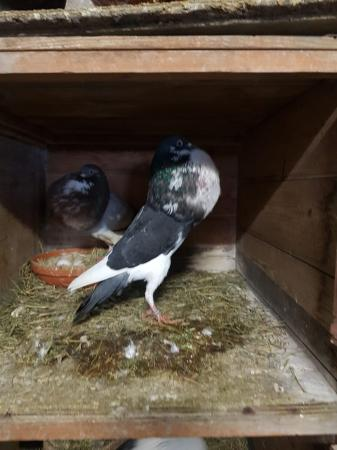 Image 5 of 4 pairs of norwich croppers pigeons