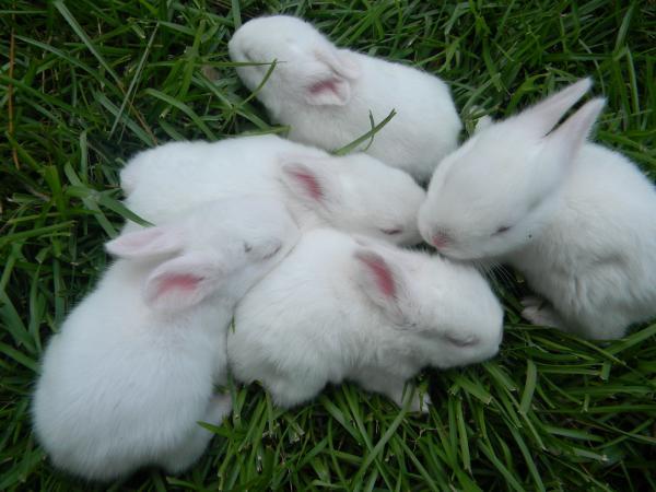 Image 4 of Ready this Sunday! Male New Zealand white rabbits