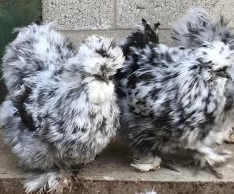 silkies bantam eggs - Local Classifieds, For Sale   Preloved
