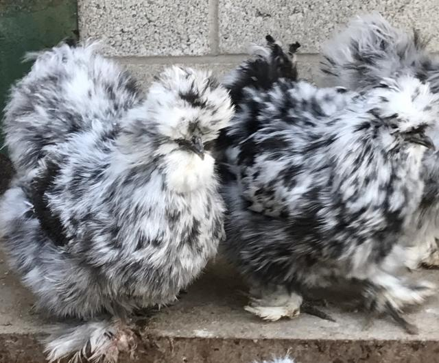 Preview of the first image of Silkie, Silkie Hatching eggs, poultry feed.