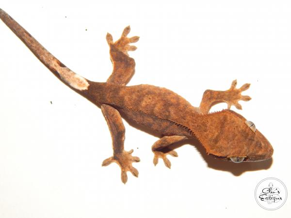 Image 3 of Unsexed bicoloured crested gecko