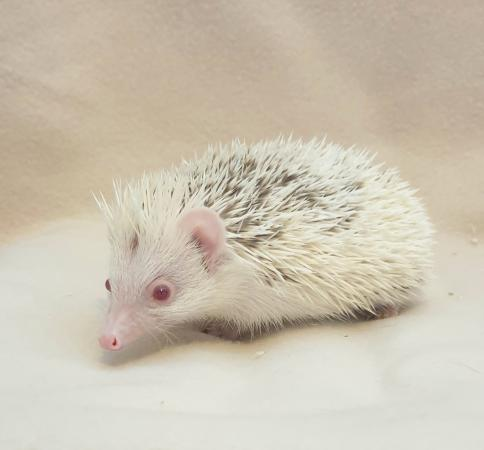 Image 5 of African Pygmy Hedgehog - Stunning Cinnamon Reverse Pinto