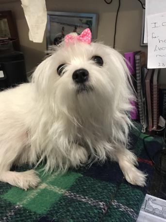 maltese - Dogs & Puppies, Rehome Buy and Sell | Preloved
