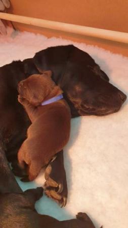 Image 2 of Labradoodle x Labrador Puppies for sale.