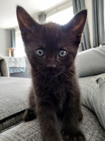 Image 6 of Black kittens