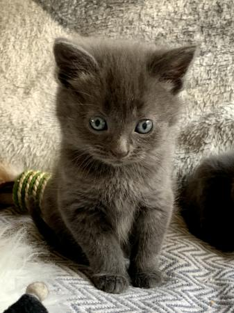 Image 1 of Stunning British Blue X kittens with vaccinations