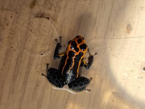 Image 3 of Ranitomeya Imitator Varadero dart frog